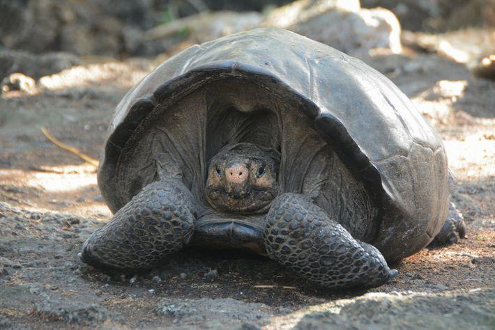 Se estima que esta hembra tiene unos 100 años. Dado que hay tortugas gigantes que viven ...