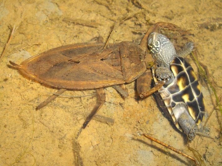 Una Kirkaldyia deyrolli devora una tortuga, una observación insólita.