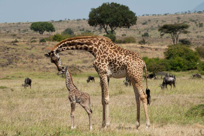 Los investigadores que analizaron los patrones de manchas de las jirafas concluyeron que las madres trasmiten ...