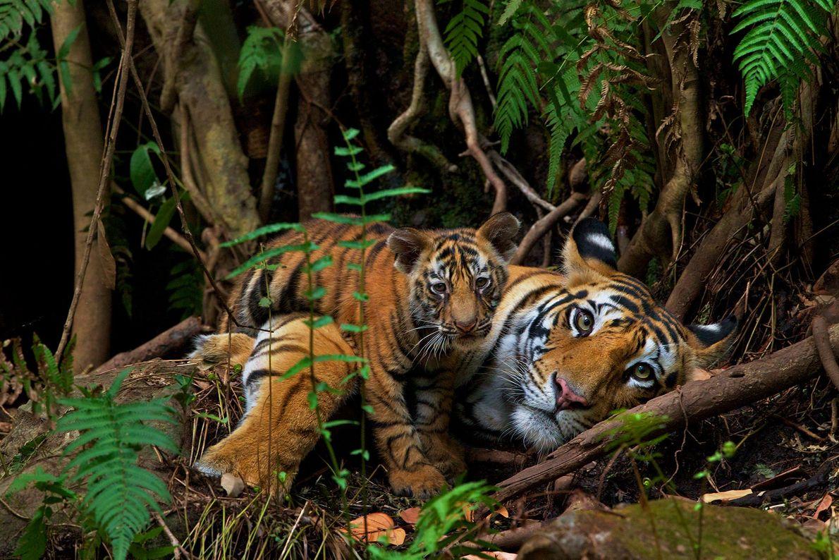 Una madre descansa con su cría de 2 meses en el Parque Nacional Bandhavgarh donde, al ...