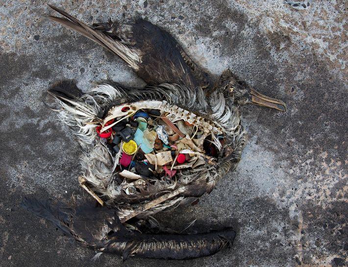 Este polluelo de albatros muerto se encontró con plástico en el estómago en el atolón de ...