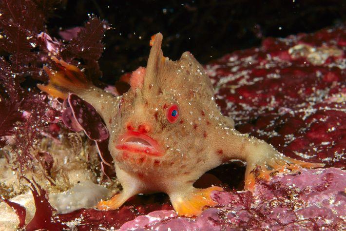 Al igual que otros peces mano, el pez mano rojo tiene aletas pectorales que le permiten ...