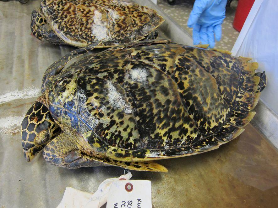 Las tortugas de carey han sido cazadas por sus caparazones durante siglos. A pesar de que ...