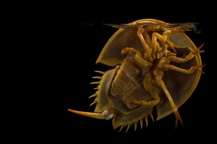 Los cangrejos herradura, que se encuentran en todos los océanos del mundo, son muy comunes en ...