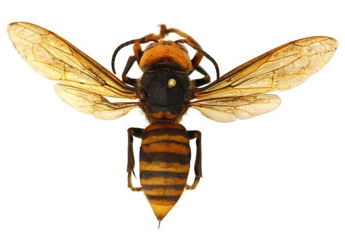 Los avispones gigantes asiáticos tienen aguijones largos capaces de perforar el equipo de protección que normalmente ...