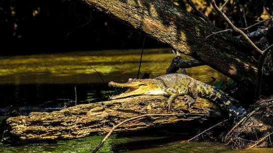 Por primera vez luego de 80 años, describen por completo una nueva especie: el cocodrilo de ...