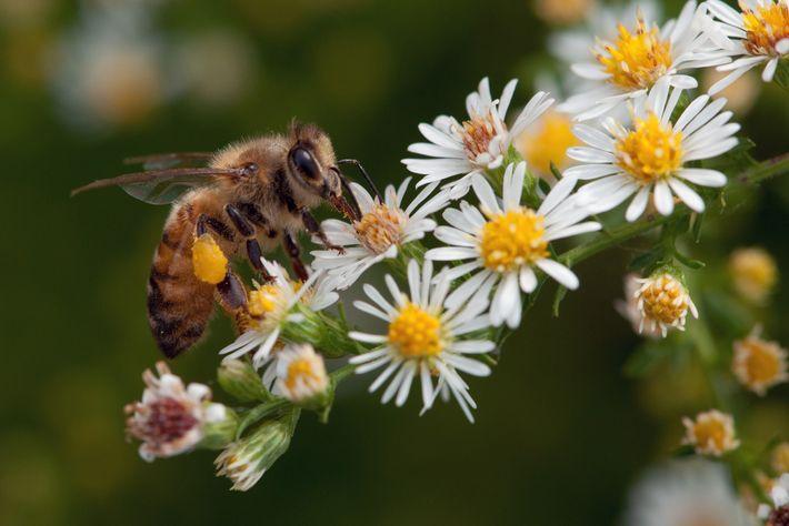 Las abejas y otras criaturas similares polinizan más de un tercio de nuestros cultivos alimenticios, lo ...