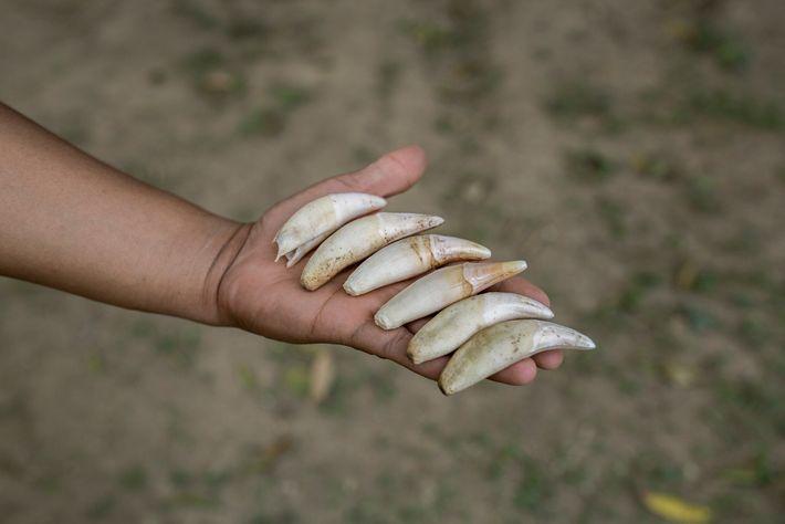 Un guarda del parque nacional Madidi en Bolivia muestra los dientes de jaguar confiscados a un ...