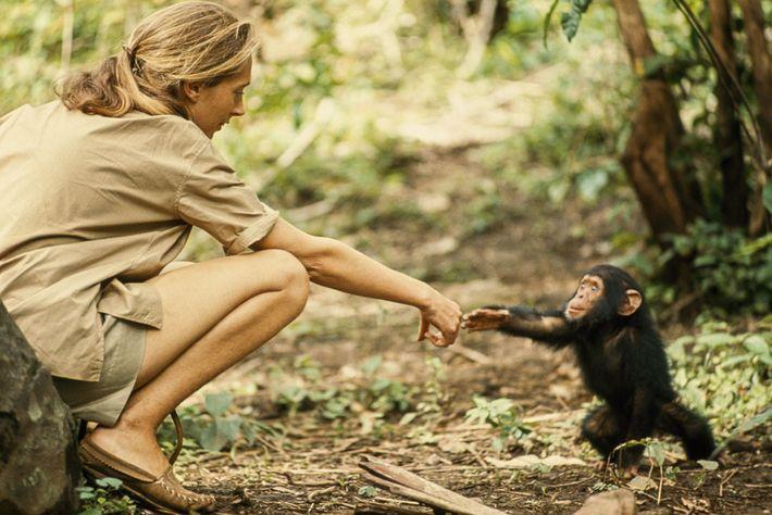 Un joven chimpancé llamado Flint le extiende la mano a la etóloga Jane Goodall. Flint fue ...