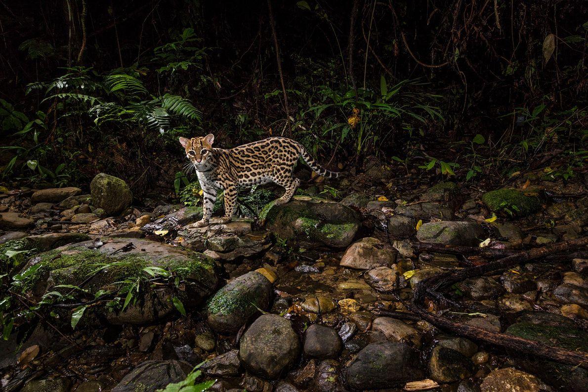 Una cámara remota captura un ocelote merodeando en el Parque Nacional Manu en la Amazonía peruana. ...