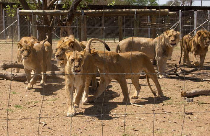 Leones en jaulas en un supuesto centro de cría en Sudáfrica. Hasta 8.000 leones están cautivos ...