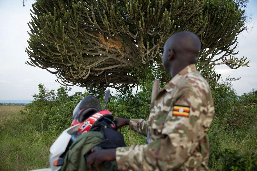 Jimmy Kisembo, guarda de la Uganda Wildlife Authority, observa a una leona. Ella también fue asesinada ...