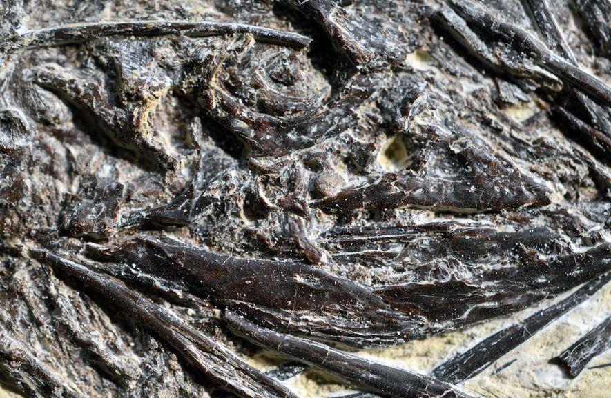 El antiguo lagarto Indrasaurus wangi, que vemos en un primer plano del fósil, se llama así ...