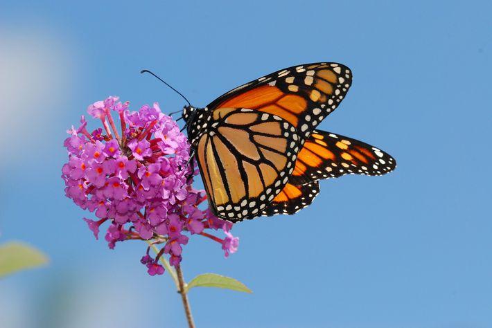 Las flores ricas en néctar son importantes para la supervivencia de los monarcas. Y el algodoncillo, ...