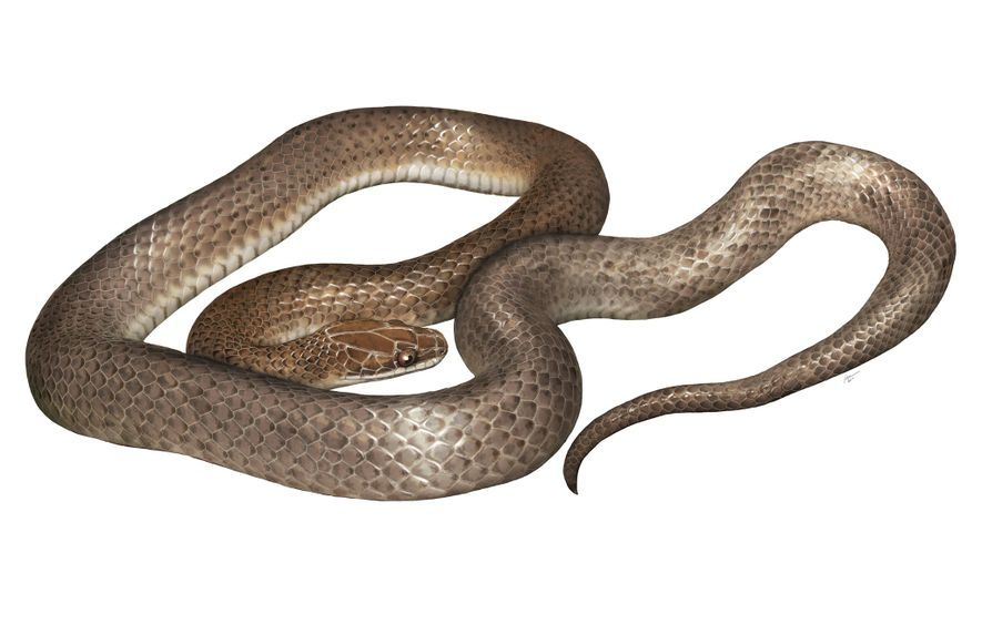 """Una representación artística de la nueva especie, """"Cenaspis aenigma"""", cuya traducción sería """"misteriosa serpiente-cena""""."""