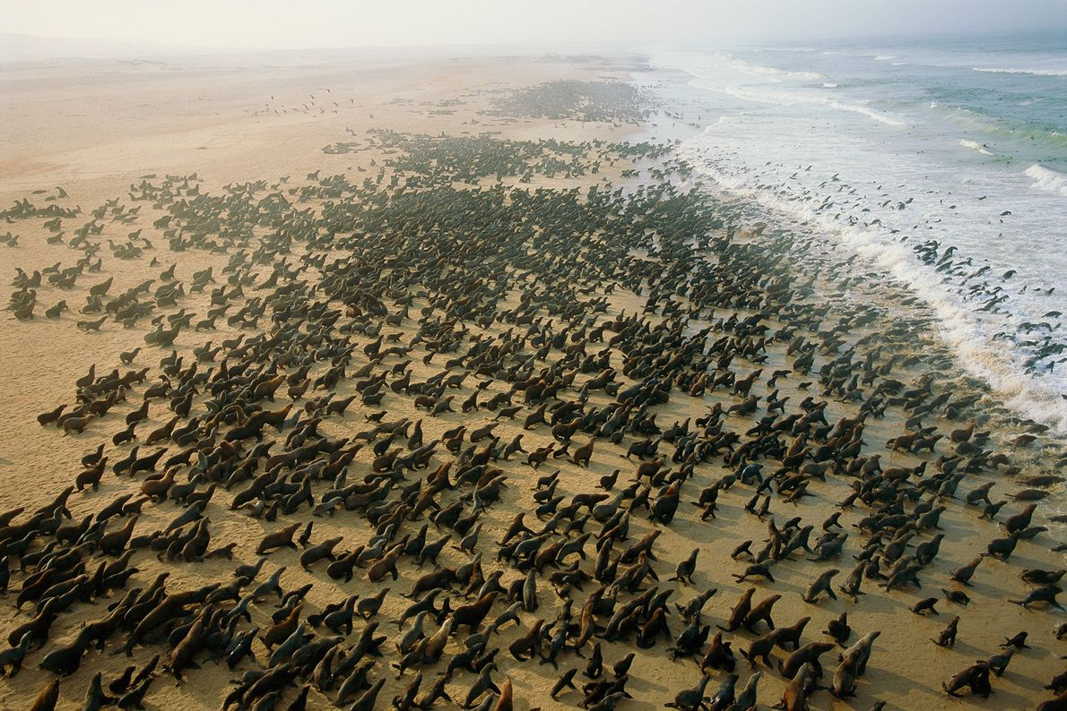 Una gran colonia de lobos marinos cubre una playa cerca de Cape Fria, Namibia. Estos lobos ...