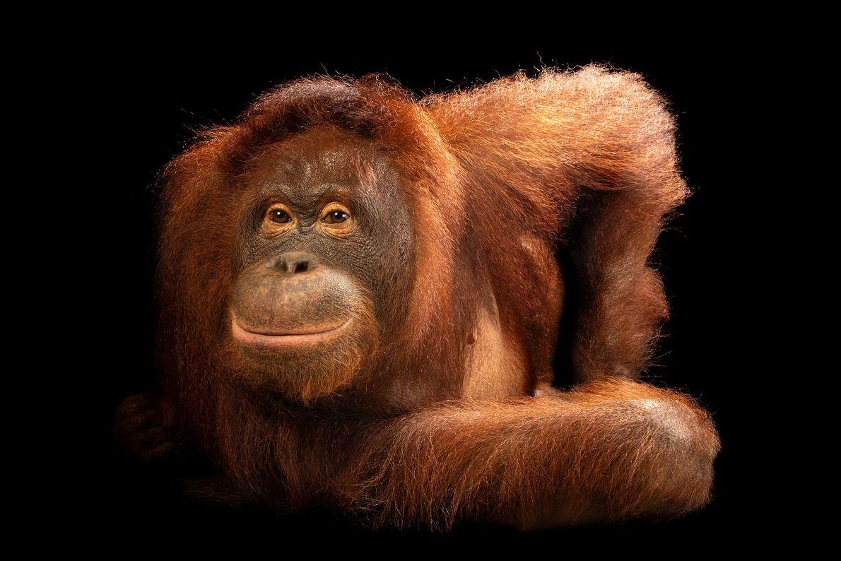 Este es un orangután de Borneo Central. El número de orangutanes de Borneo ha disminuido más ...