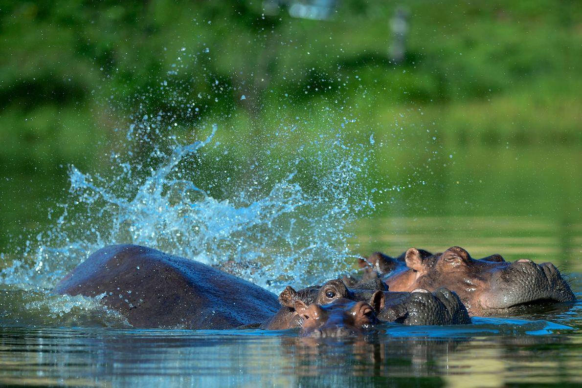 Los cuatro hipopótamos originales han producido una manada muchísimo más grande, por la que tanto locales ...