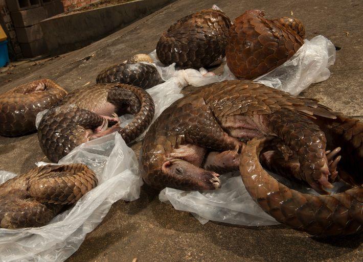 Estos seis pangolines malayos fueron incautados de una propiedad alquilada en Cantón, China. Los investigadores afirman ...