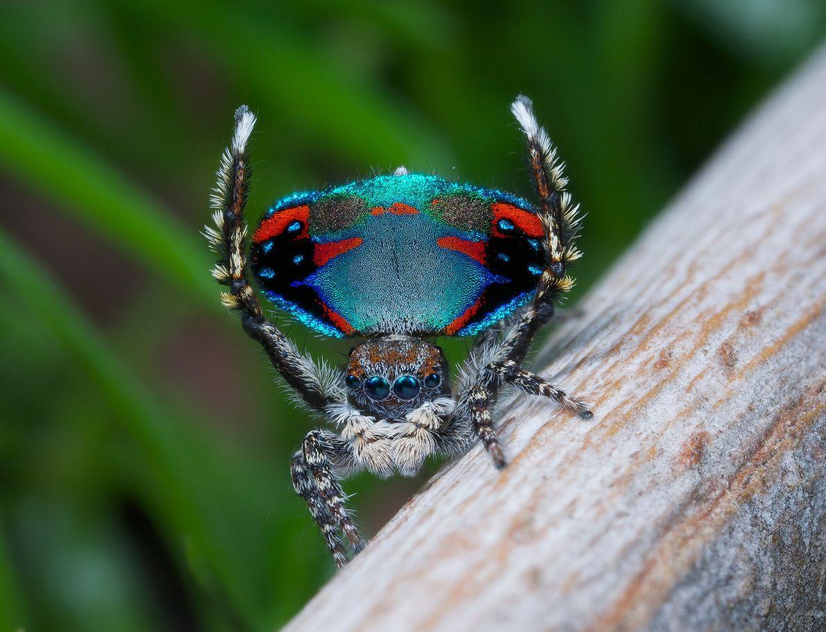 """Una """"Maratus avibus"""" le muestra a la hembra sus colores negro, rojo y verde azulado."""