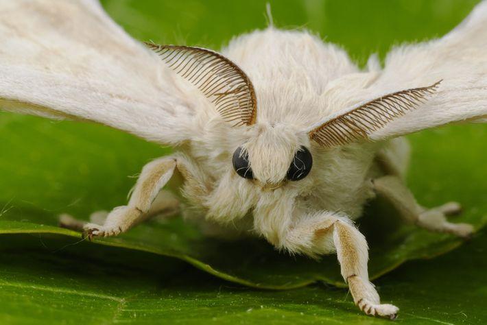 Los receptores de las antenas de las mariposas de seda macho pueden captar las feromonas de ...