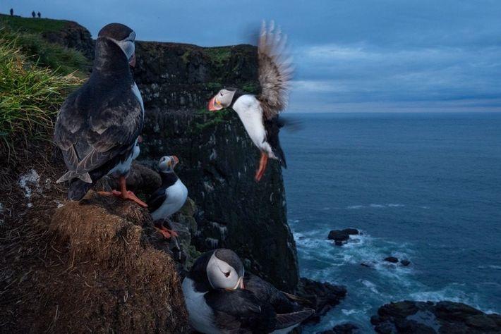 El frailecillo atlántico (en la imagen, un ave de Islandia) tiene el apodo de «loro del ...
