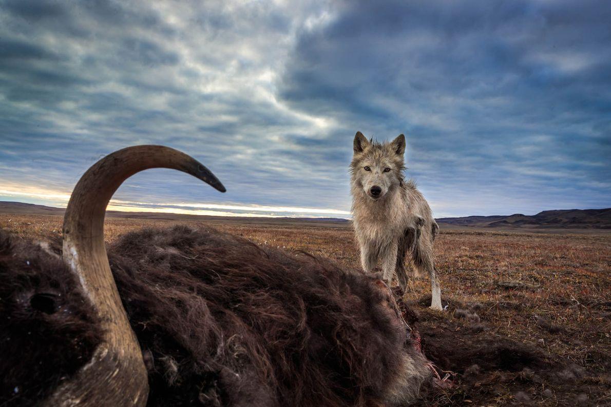 Un lobo ártico posa sobre un buey almizclero muerto, su principal presa. El buey almizclero había ...
