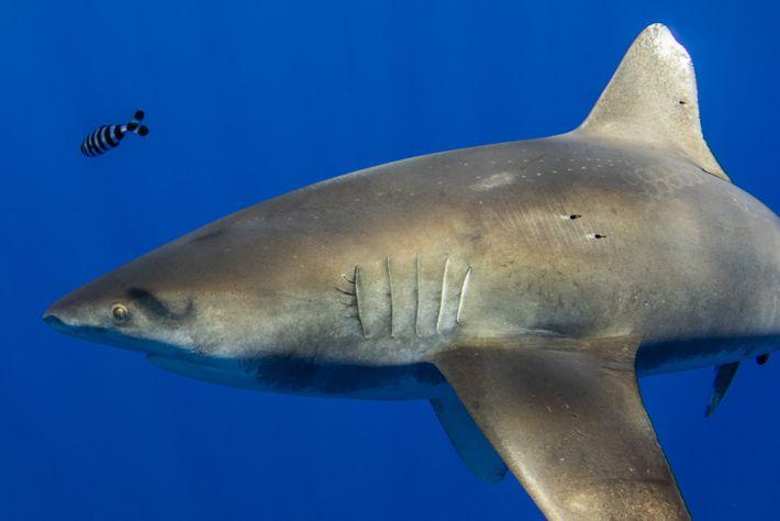 Un tiburón oceánico de más de dos metros tiene marcas de succión del tamaño de una ...