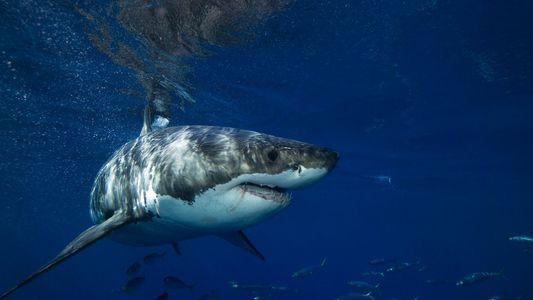 ¿Qué está matando a los tiburones blancos jóvenes de California y México?