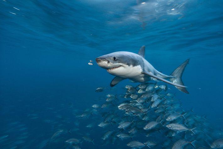 Un gran blanco nada en las islas Neptuno en el sur de Australia. Los científicos alguna ...