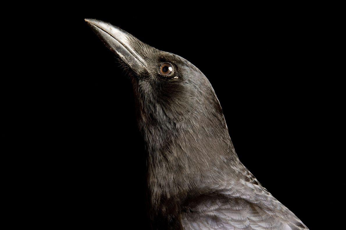 Cuervo americano (Corvus brachyrhynchos) en el centro de investigación aviar de Sutton. Existen 40 especies diferentes ...