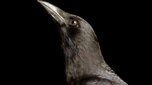 Por qué los cuervos son las aves más inteligentes del planeta