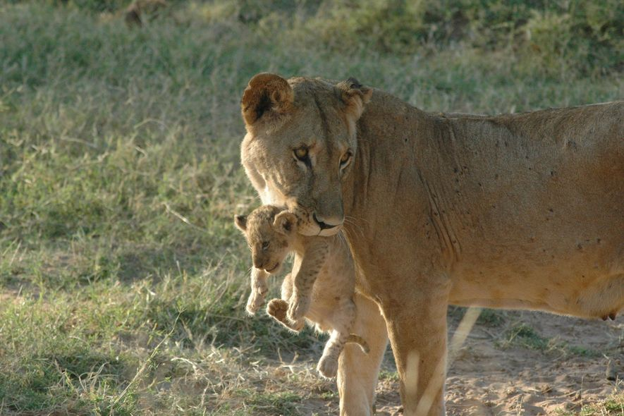 Una leona llamada Uni, es una de los leones solitarios del norte de Kenia.