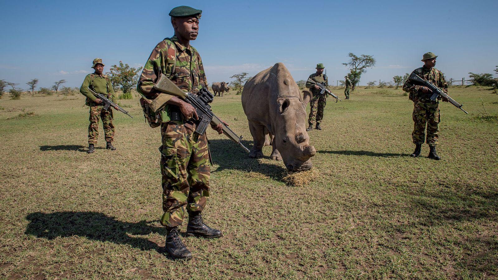 En la imagen, guardias armados velan por Sudan, un rinoceronte blanco del norte que fue el ...