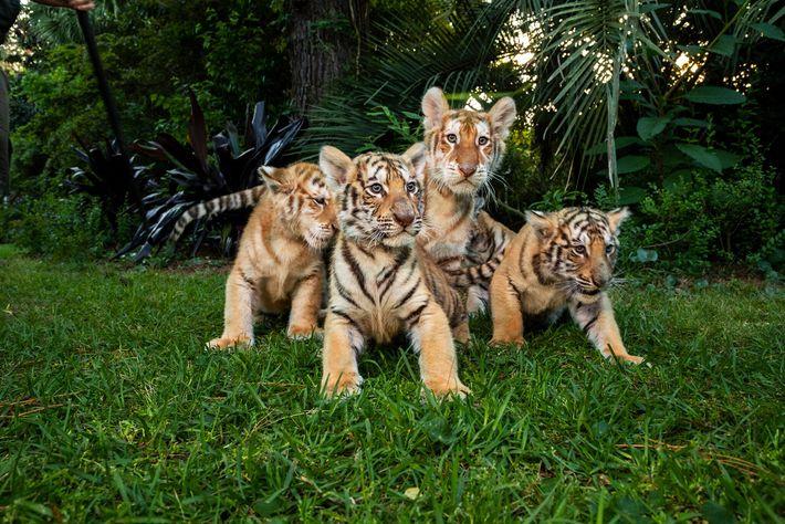 """Estos cachorros de tigre y ligre fueron fotografiados en el safari de tigres de Bhagavan """"Doc"""" ..."""