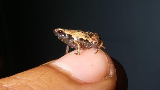 """Nuevas especies de """"mini"""" ranas son descubiertas en Madagascar"""