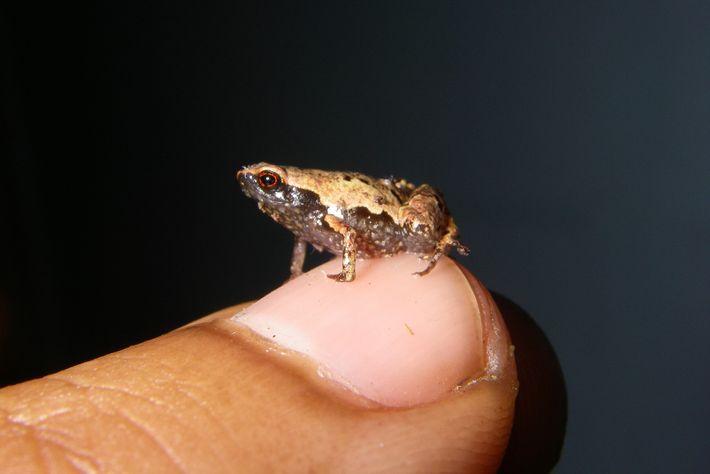 """Una """"Mini mum"""" macho adulta, una de las ranas más pequeñas del mundo, descansa en una ..."""