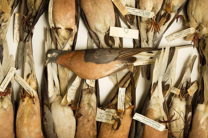 Los comerciantes de aves intercambiaron ilegalmente varias aves acuáticas de América del Norte por una paloma ...
