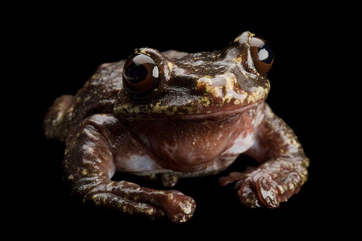 La última rana arbórea de Rabb viviente murió en el año 2016 en el zoológico de ...