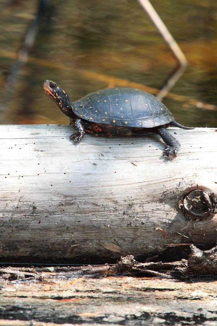 Una tortuga manchada en Carolina del Norte toma sol sobre un tronco. Estas especies pequeñas y ...
