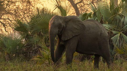 Frente a la amenaza de la caza furtiva, los elefantes tienden a no desarrollar colmillos