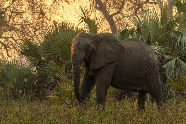Una hembra adulto sin colmillos en el bosque del Parque Nacional de Gorongosa con un collar ...