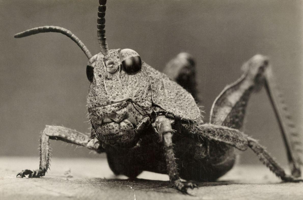 Existen al menos 18.000 especies de saltamontes que van saltando por todo el mundo. Todas ellas ...