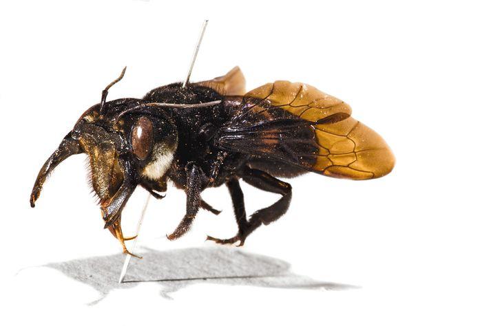 El espécimen original de la abeja gigante de Wallace, recolectado por Alfred Russel Wallace.