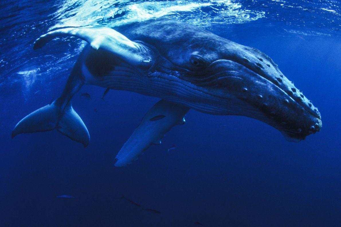 Las ballenas jorobadas fueron cazadas casi hasta la extinción, y las poblaciones se desplomaron más de ...