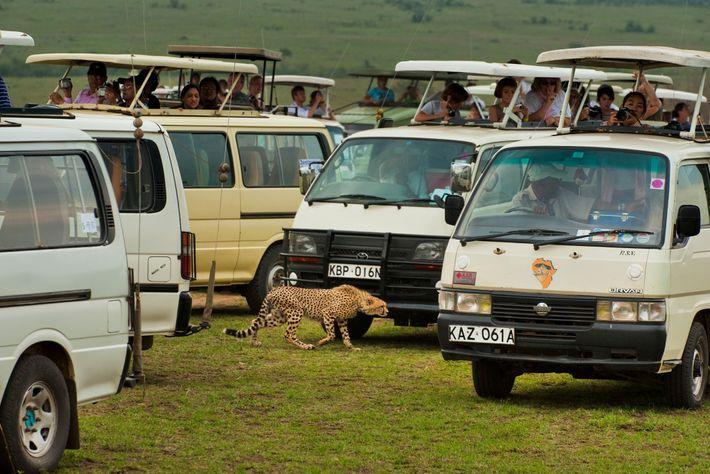Un grupo de turistas intenta fotografiar un guepardo en la Reserva Nacional Masai Mara de Kenia. ...
