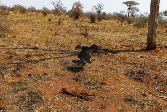 02-ww-longest-vulture-migration