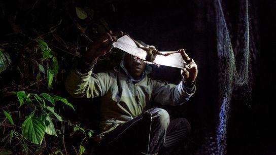 En el monte Morungole de Uganda, un investigador examina un murciélago en busca de señales de ...