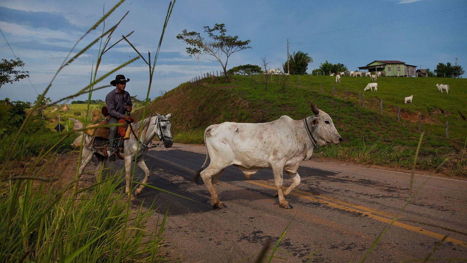 Un vaquero conduce novillos en el estado de Acre, Brasil, que es una zona cero para ...