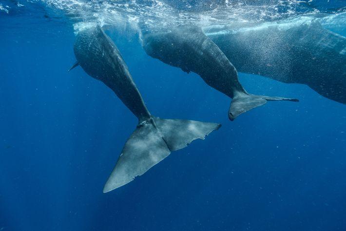 Digit (izquierda) nada con la cría Corkscrew y la madre Canopener. La ballena adulta a menudo ...